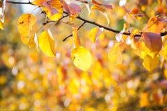 Предпосылка желтых лист груши в осени Стоковые Изображения RF