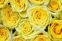 Предпосылка желтых роз естественная Букет красивых желтых роз закрывает вверх Стоковые Фотографии RF