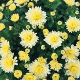 Предпосылка желтых хризантем флористическая Стоковое Фото