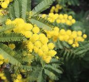 Предпосылка желтых цветков мимозы стоковые изображения