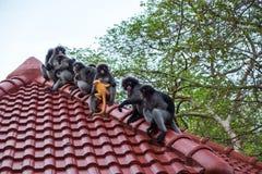 Предпосылка живой природы с обезьянами и младенец monkey на верхней части крыши Im Стоковая Фотография RF