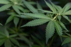 Предпосылка завода марихуаны стоковое изображение rf