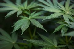 Предпосылка завода марихуаны стоковое фото rf
