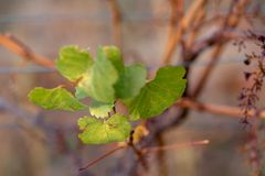 Предпосылка запачканная природой Виноградник осени r r стоковые изображения rf