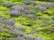 Предпосылка зеленого мха Стоковые Изображения