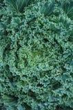 Предпосылка зеленого цвета погоды зимы росы салата взгляд сверху красивая, Lactuca sativa Стоковая Фотография RF