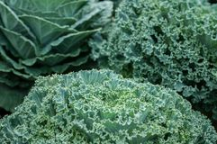 Предпосылка зеленого цвета погоды зимы росы салата взгляд сверху красивая, Lactuca sativa Стоковое фото RF