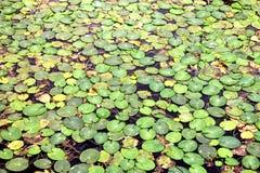 Предпосылка зеленого Duckweed естественная на воде в загрязненной воде Стоковые Фотографии RF