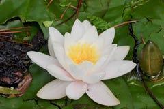 Предпосылка зеленой пусковой площадки лилии и белого цветка текстурирует макрос Стоковая Фотография