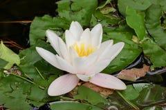 Предпосылка зеленой пусковой площадки лилии и белого цветка текстурирует макрос Стоковое Изображение RF