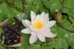 Предпосылка зеленой пусковой площадки лилии и белого цветка текстурирует макрос Стоковые Фото
