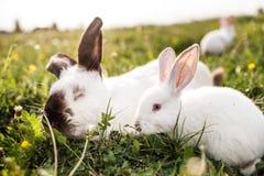 Предпосылка зеленой травы кролика младенца белая весной Стоковая Фотография RF