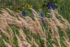 Предпосылка зеленой травы с голубым flowe Стоковое фото RF