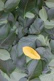 Предпосылка зеленых листьев дерева вяза Стоковое Изображение