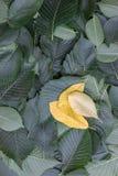 Предпосылка зеленых листьев дерева вяза Стоковые Фото