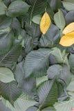 Предпосылка зеленых листьев дерева вяза Стоковое Изображение RF
