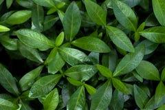 Предпосылка зеленых листьев стоковые изображения rf