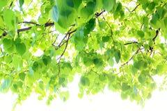 Предпосылка зеленых листьев липы, из фокуса стоковые фото