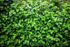 Предпосылка зеленых листьев Стоковое Изображение