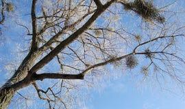 Предпосылка зимы шарика омелы рождества на ветви дерева под голубым небом стоковая фотография