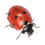 предпосылка изолировала белизну ladybird Стоковое Изображение RF