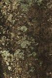Предпосылка и текстура от ствола дерева Цвет темного коричневого цвета и Стоковое Изображение