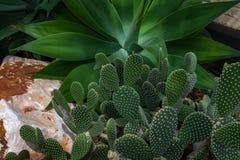 Предпосылка кактуса Стоковые Фотографии RF