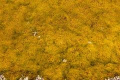 Предпосылка камня покрытая с мхом лишайника Стоковая Фотография