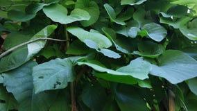 Предпосылка кирказона Macrophilla выходит как зеленое сердце Стоковые Изображения
