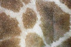 Предпосылка кожи жирафа Стоковое фото RF