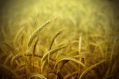 Предпосылка конспекта поля пшеницы стоковое фото