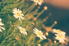 Предпосылка конспекта цветка маргаритки стоковые изображения rf