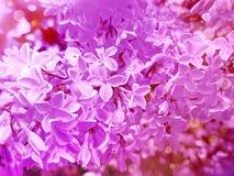 предпосылка красивого цветка сирени винтажная стоковые фотографии rf