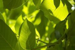 Предпосылка красивых свежих стрех дерева фундука растительности абстрактная стоковые фотографии rf