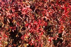 Предпосылка красных листьев осени Стоковое Изображение RF