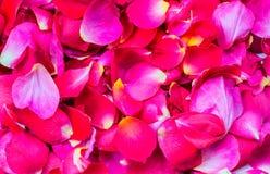 Предпосылка лепестков розы текстурированная scatter стоковое фото rf
