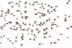 Предпосылка летания воробья дома Стоковая Фотография RF