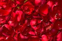 Предпосылка лета флористическая лепестков природы- красных роз clos Стоковые Фото