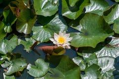 Предпосылка лилии белой воды Стоковое Изображение
