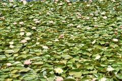 Предпосылка лилии воды Стоковая Фотография