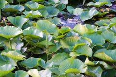 предпосылка листает lilly пусковая площадка Стоковая Фотография RF