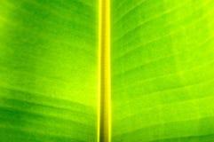 Предпосылка листьев банана Стоковые Изображения