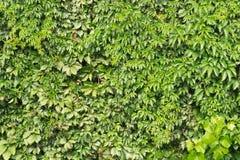 Предпосылка листьев лозы Стоковые Изображения