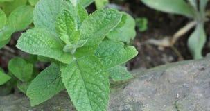 Предпосылка листьев мяты Зеленые растения лист мяты акции видеоматериалы