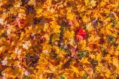 Предпосылка листьев осени в солнечном свете Листья осени желтого цвета, апельсина и красного цвета падения на земле для предпосыл стоковые изображения