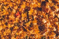 Предпосылка листьев осени в солнечном свете Листья осени желтого цвета, апельсина и красного цвета падения на земле для предпосыл стоковое фото rf