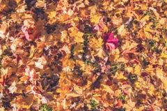 Предпосылка листьев осени в солнечном свете Листья осени желтого цвета, апельсина и красного цвета падения на земле для предпосыл стоковая фотография rf
