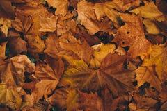 Предпосылка листьев осени сухая стоковое изображение