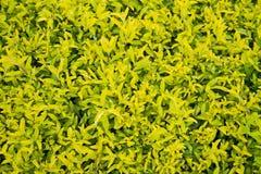 Предпосылка листьев dewdrop золота стоковая фотография rf