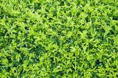 Предпосылка листьев dewdrop золота стоковые фотографии rf